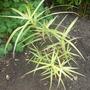 Carex Sparkler