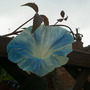 Morning Glory (Ipomoea tricolor (Morning glory))