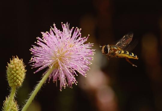 Sensitive plant (Mimosa pudica (Sensitive plant))