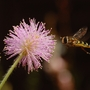 Sensitive plant (Mimosa pudica (Sensitive plant))