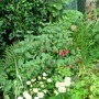 Fuchsia Bush
