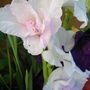 White Gladioli - with hint of Pink