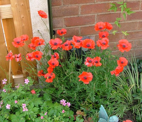 my free corn poppies