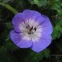 Geranium_wallichianum_buxton_s_variety_2011