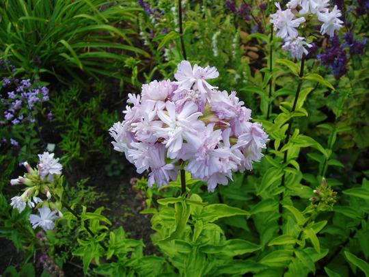 Saponaria Officinalis Rosea Plena (Saponaria officinalis (American Soapwort))