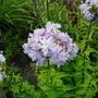 Saponaria officinalis (American Soapwort)