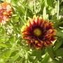 Gaillardiablanktflowercloseupvistabilefrontloungeborder11.06.08