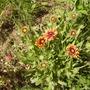 Gaillardia [Blanket Flower]   06.08 (Gaillardia aristata (Blanketflower))