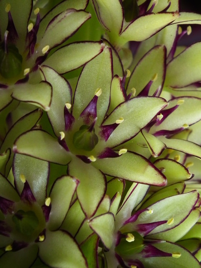 Eucomis bicolor (Flower close up) (Eucomis bicolor)