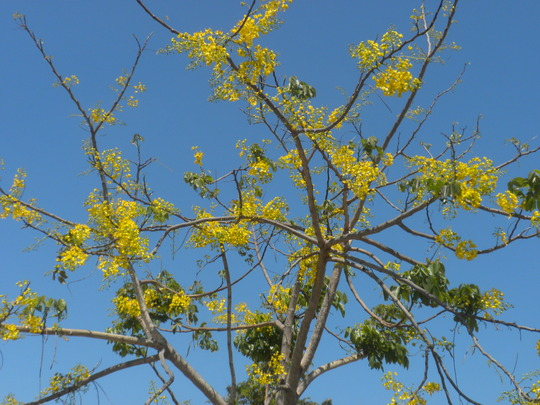 Cassia fistula - Golden Shower Tree (Cassia fistula - Golden Shower Tree)