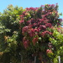 Mangifera indica - Mango Tree - San Diego, CA.  (Mangifera indica - Mango Tree)