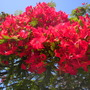 Delonix regia - Royal Poinciana, Flamboyant in San Diego, CA (Delonix regia - Royal Poinciana, Flamboyant)