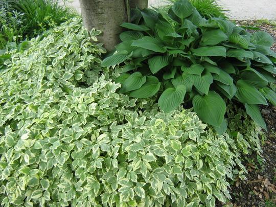 Aegopodium podagraria (Aegopodium podagraria (Ash Weed)(Bishops Weed))