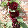 Burgundy Hollyhock
