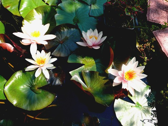 This water lily is flowering better than ever this year. (Nymphaea alba (Nenufar Blanco))
