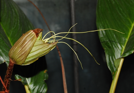 Bat Flower emerging (Tacca chantrieri (Bat Flower))