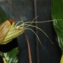Bat Flower emerging (Tacca chantrieri (Bat Flower))