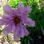 Cosmos bipinnatus (Cosmos)