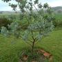 Mimosa    Acacia Dealbata   (Acacia Dealbata)