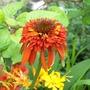 Echinacea Hot Papaya (Double) (Echinacea)