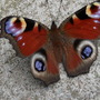 Peacock Butterfly on patio.