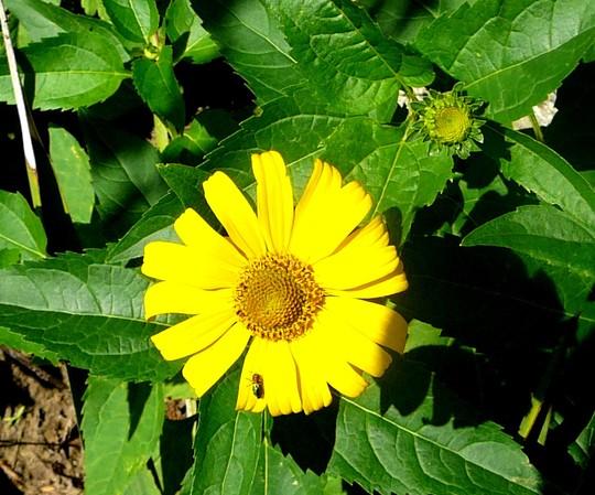 Yellow perennial daisy ???? (Rudbeckia speciosa (Showy Coneflower))