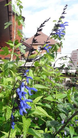 Salvia guaranatica 'Black and Blue' - 2011 (Salvia guaranatica)
