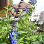 Salvia_guaranatica_black_and_blue_2011