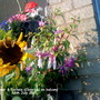 Fuchsia_sunflower_close_up_on_balcony_28_07_2011_001