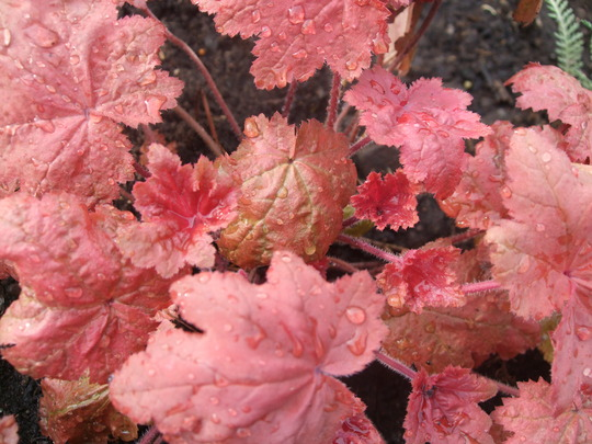 Heuchera 'Autumn Leaves' (Heuchera)