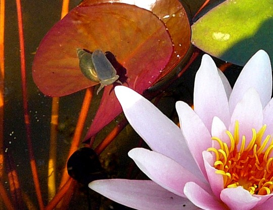 Can you see the water snail swimming towards the lily? (Nymphaea alba (Nenufar Blanco))