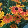 Heleniums in the hot border. (Helenium autumnale (American Sneezeweed))