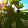 Fruity fig