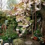cherry blossom tree and spring flowers (cherry blossom tree)