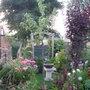 Our Cherry Tree - Cerisier   Bigarreauvan -