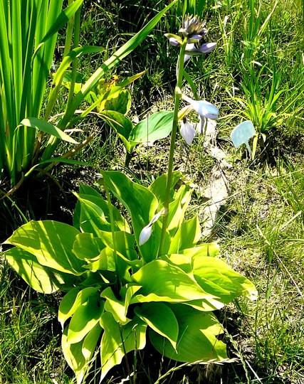 Flowering Hosta in bog garden (Hosta fortunei (Plantain lily))