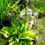 Flowering Hosta in bog garden (Hosta fortunei (Plantain lily))