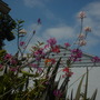 Epidendrum Hybrid Orchids (Epidendrum Hybrid Orchids)