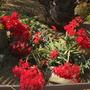 Crassula falcata - Airplane Plant Flowering (Crassula falcata - Airplane Plant)