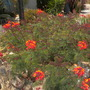 Caesalpinia pulcherrima - Dwarf Poinciana (Caesalpinia pulcherrima - Dwarf Poinciana)