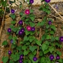 "Sues ""Morning Glory Wall"" (Ipomoea purpurea (Morning glory))"