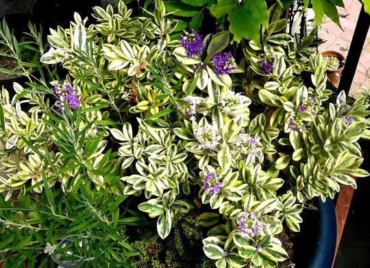 Hebe in pot on terrace. Just flowering.