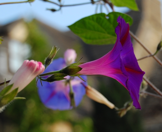 Sues Morning Glory (Ipomoea purpurea (Morning glory))