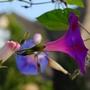 Sues Morning Glory (Ipomoea purpurea (Morning glory))