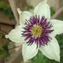 Clematis florida
