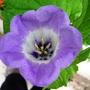 Shoofly flower