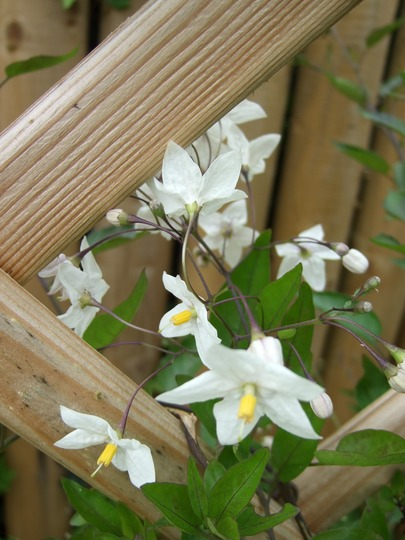 First flowers on my Solanum laxum! (Solanum laxum)