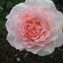 rosa 'Chandos Beauty'