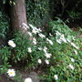 A little drift of Leucanthemum