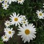 Leucanthemum close up